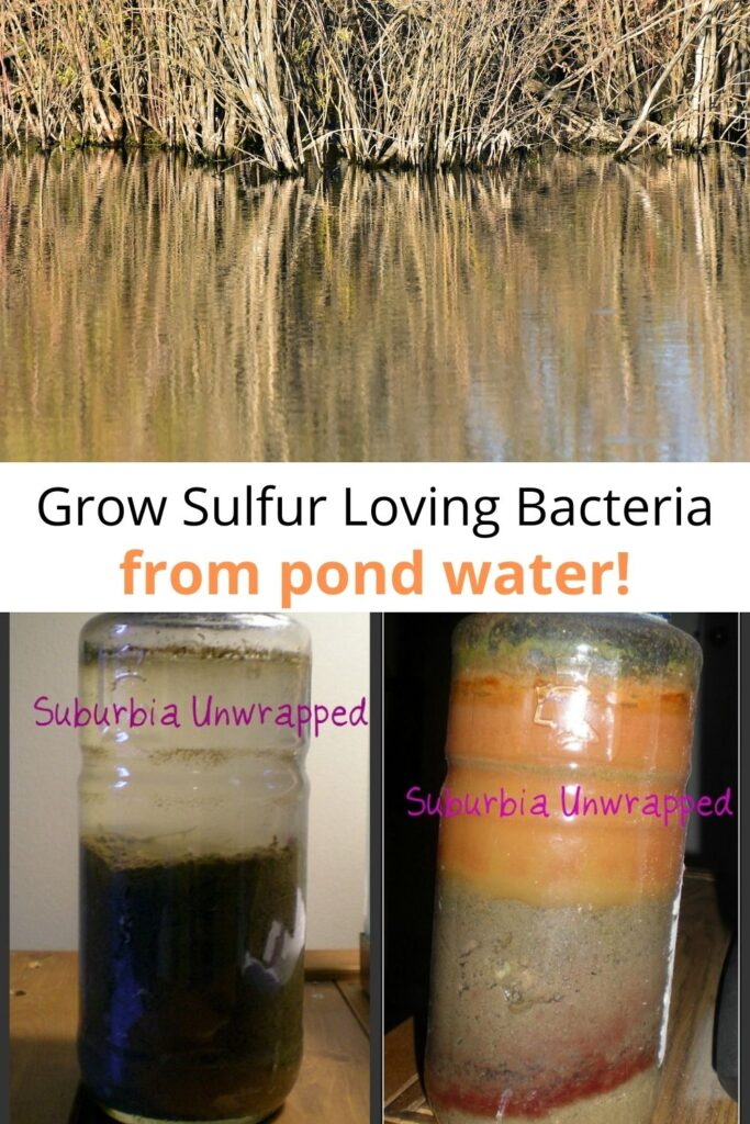 collage of pond water and DIY winogradsky column showing orange bacterial growth