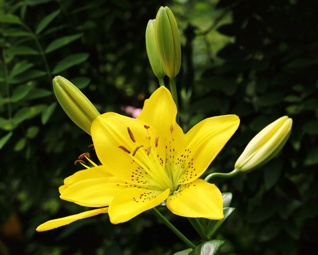 How to Grow Lilies Even Without a Green Thumb
