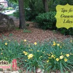 Love for Lilies and Easy Planting Tips #spon