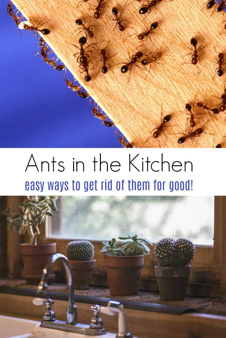 Have ants in the kitchen?  Learn how to get rid of ants in the kitchen once and for all.  Avoid chemicals and get rid of them naturally!