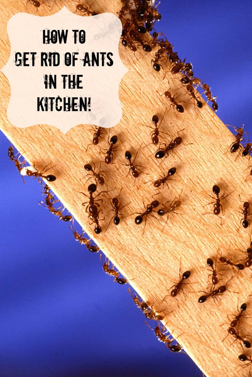 How to Get Rid of Ants in the Kitchen - Suburbia Unwrapped