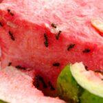 ants on melon