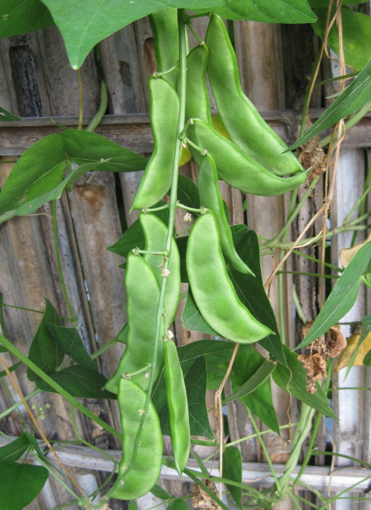 Lima Beans and Reasons to Build a Backyard Garden