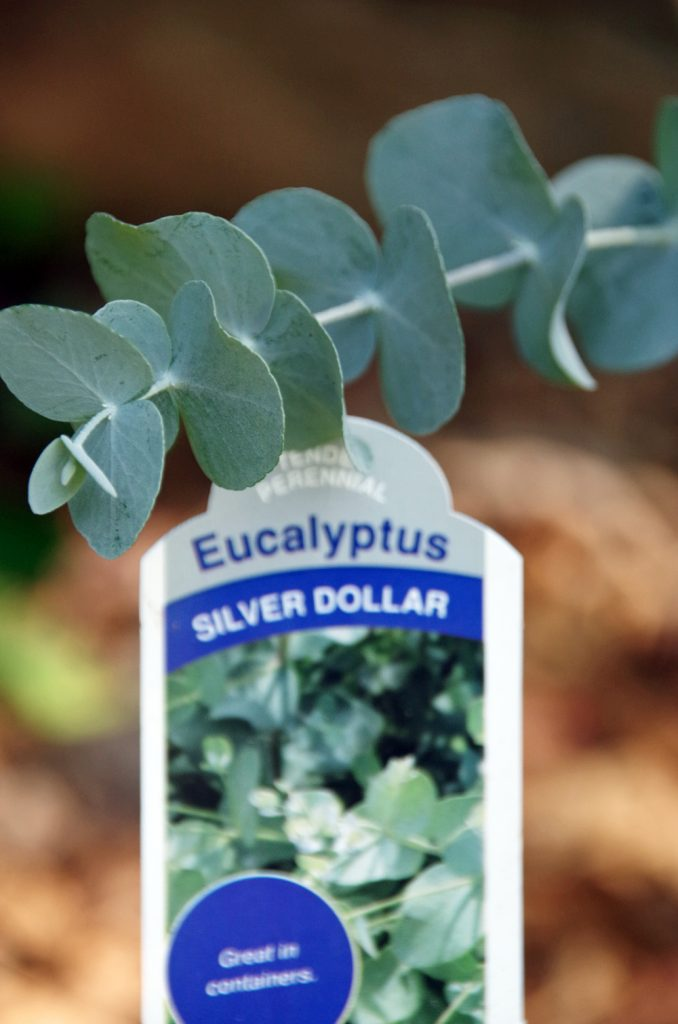 How to grow eucalyptus and How to make eucalyptus oil and save a ton of money. An easy essential oil DIY project.