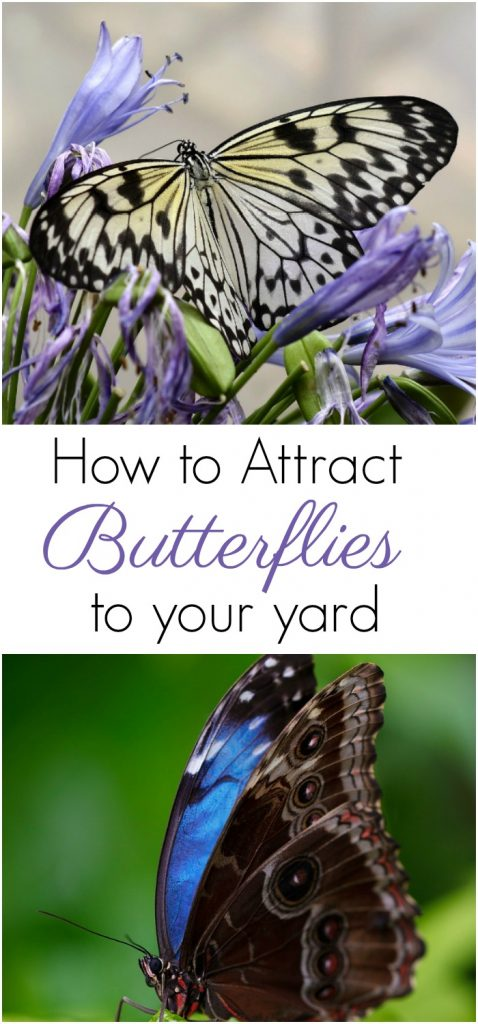 How To Attract Butterflies To Your Yard - Suburbia Unwrapped