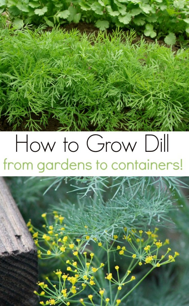 How to Grow Dill and 7 Fresh Dill Recipes to Use it All!