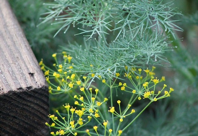 Growing Dill in the Garden