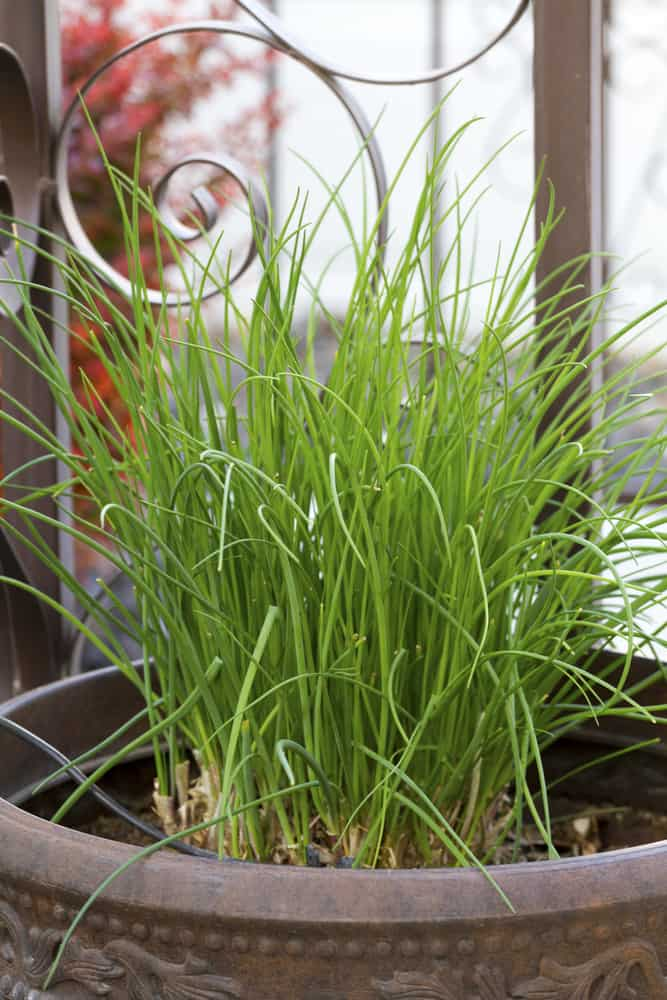 Chives grown in a container.