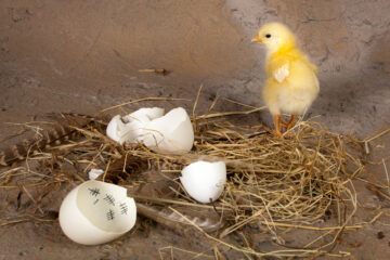 Little yellow chick running away from its egg with tally scores inside to represent an empty nest